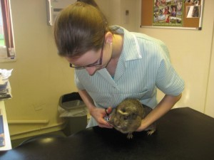 guinea pig 2