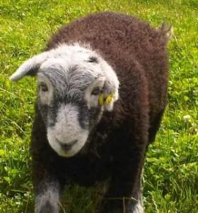 chops the sheep