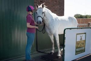 horse beign weighed, horse on weighbridge